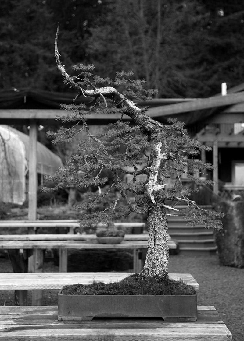 engelmann_spruce_bonsai_mirai