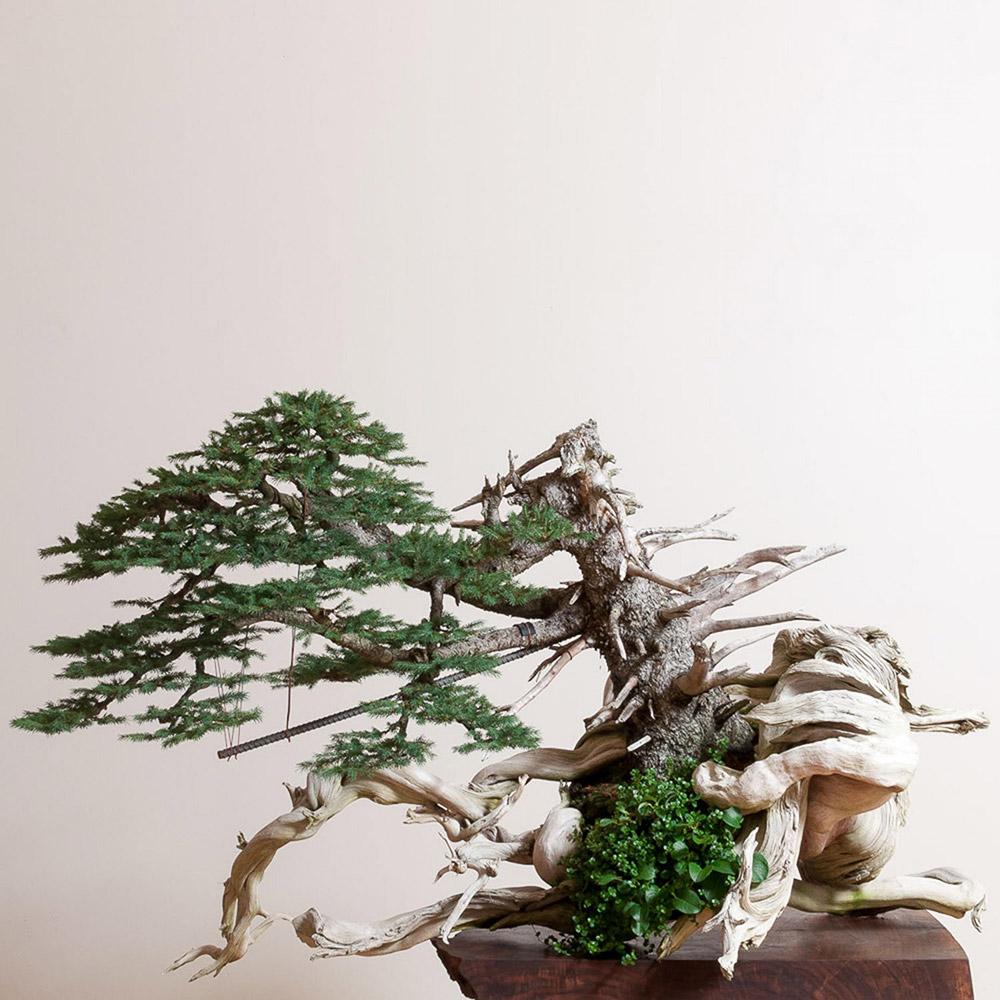 engelmann_spruce_bonsai_mirai_ryan_neil