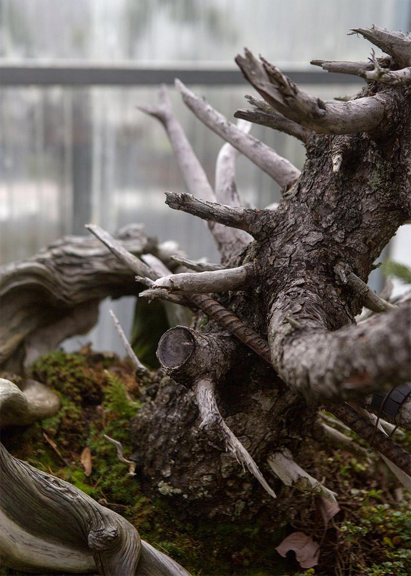 spruce_bonsai_Detail_mirai