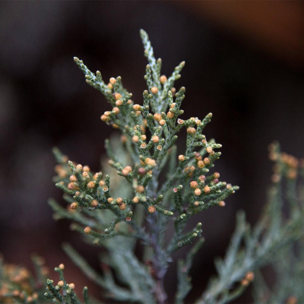 Sierra_juniper_foliage_juniperus_occidentalis_subsp_australis