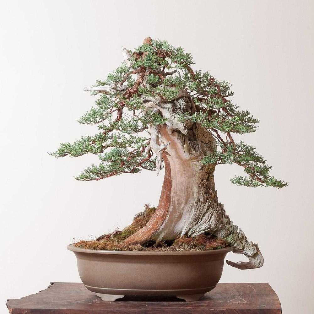bonsai_mirai_sierra_juniper_1
