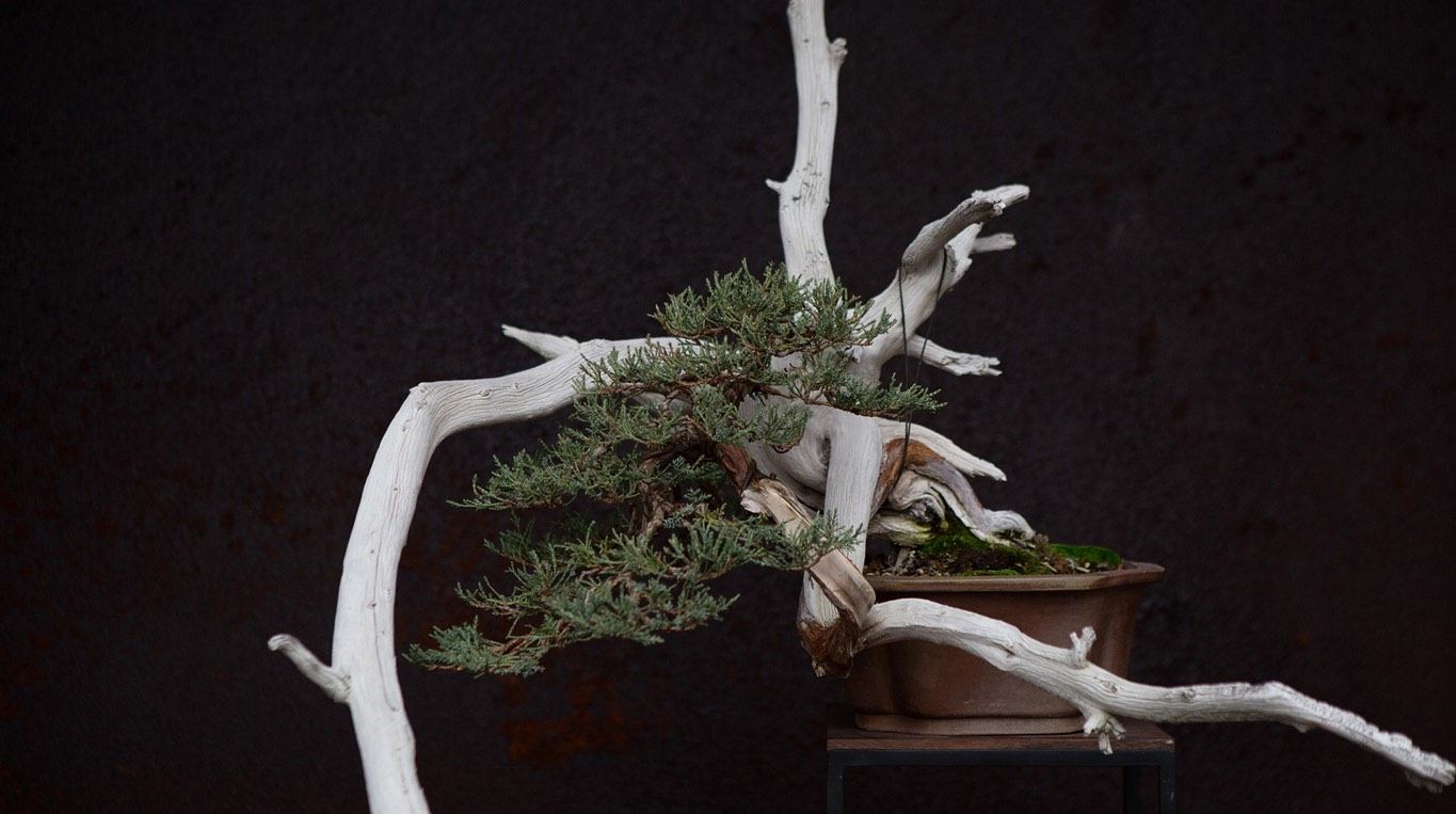 rocky_mountain_juniper_bonsai_chuhin