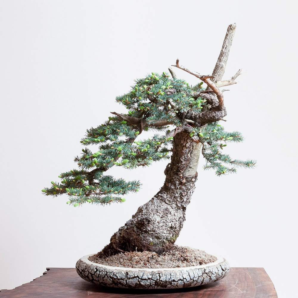 horst_heinzelreiter_ceramic_bonsai_blue_spruce