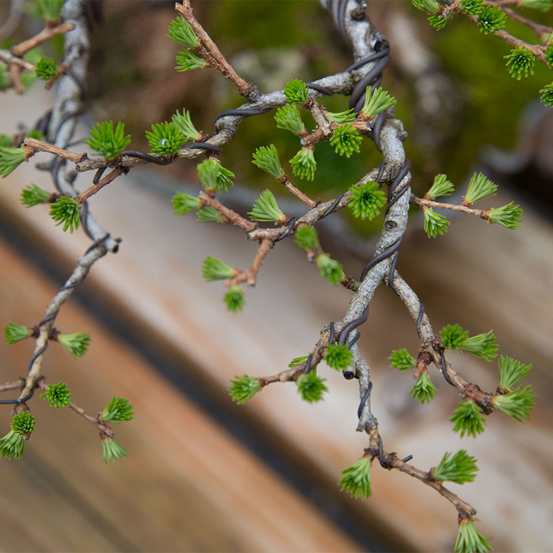 larch_foliage_Detail