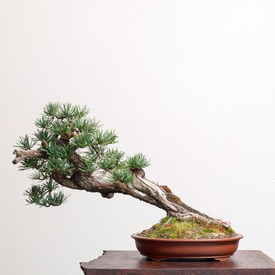 limber_pine_bonsai