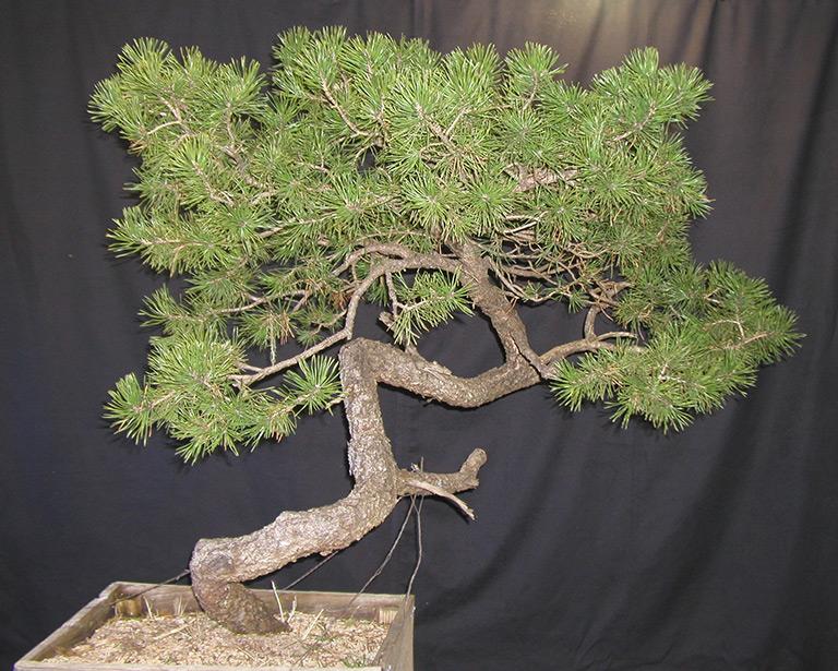 lodgepole_pine_yamadori_2