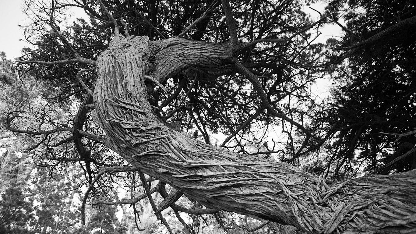 monterey_cypress_detail_bark