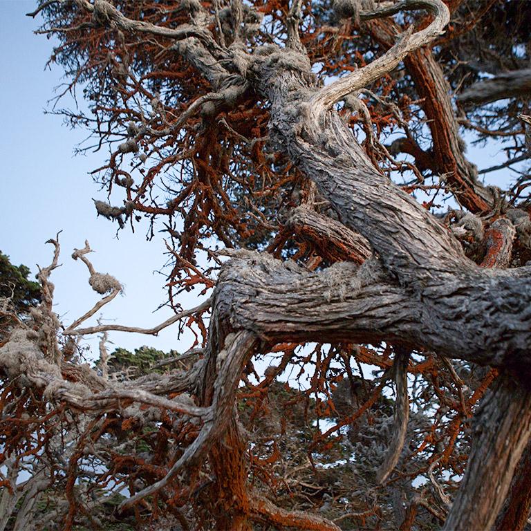 monterey_cypress_lichen