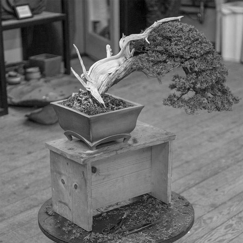 needle_juniper_Bonsai_workshop