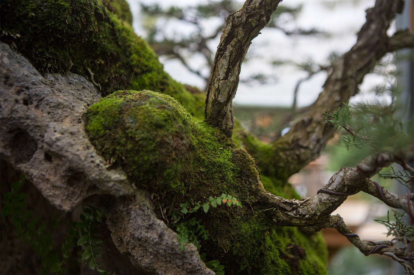 pygmy_cypress_forest_detail