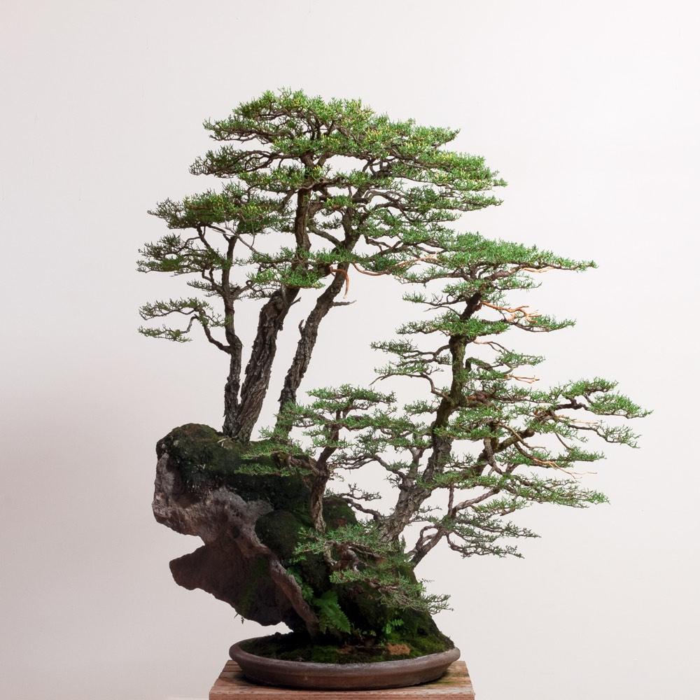 pygmy_cypress_forest_bonsai_mirai_r.neil
