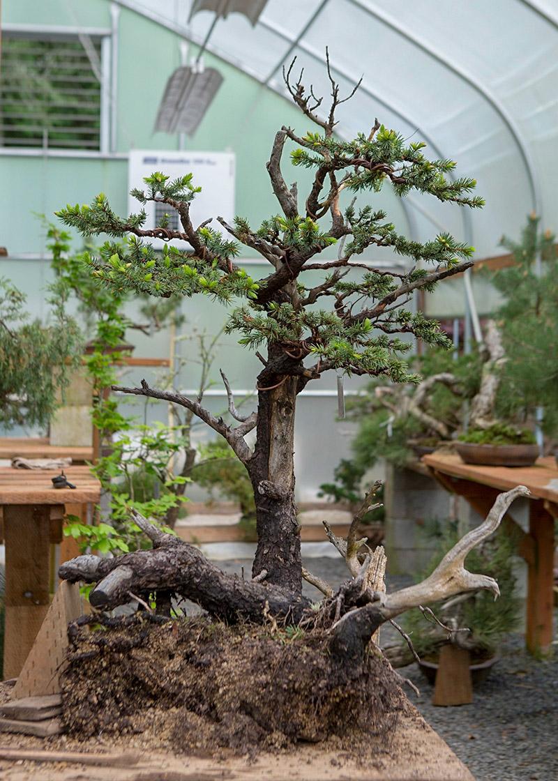 spruce_bonsai_repot_mirai