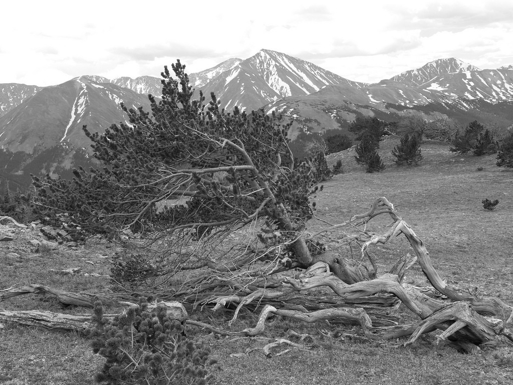 krummholz_tree_rocky_mountains