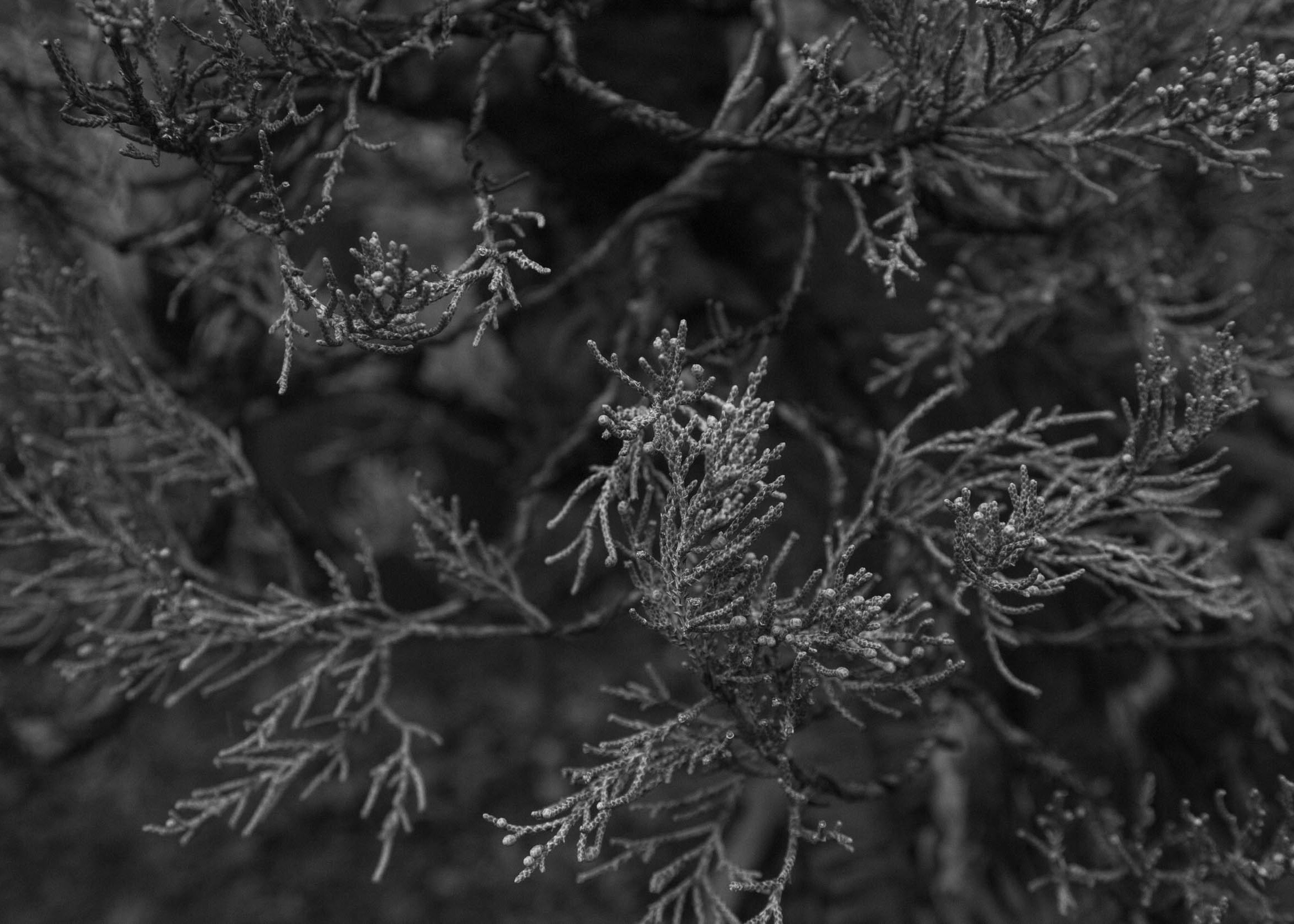 sierra_juniper_foliage_detail