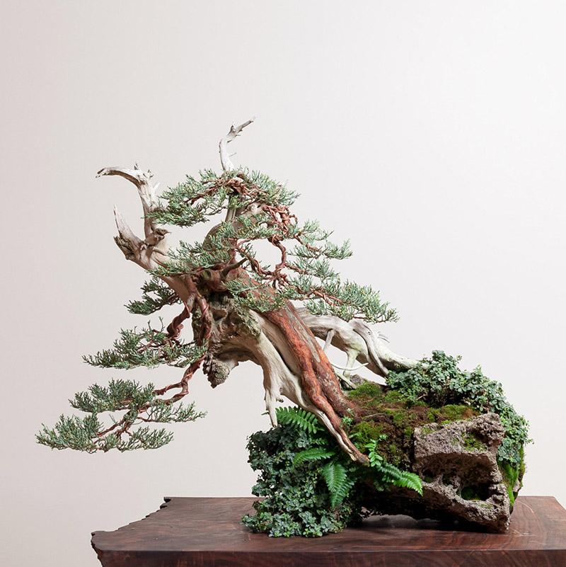 Sierra_juniper_bonsai