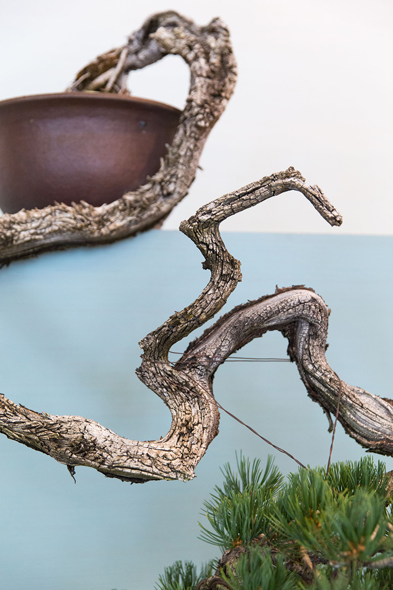 pine_bonsai_display_portland_oregon