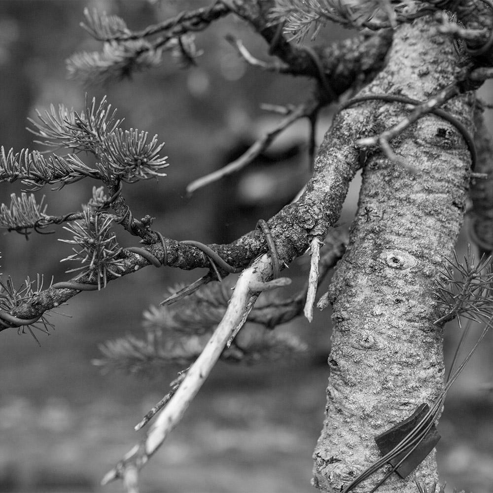 spruce_bark_BW