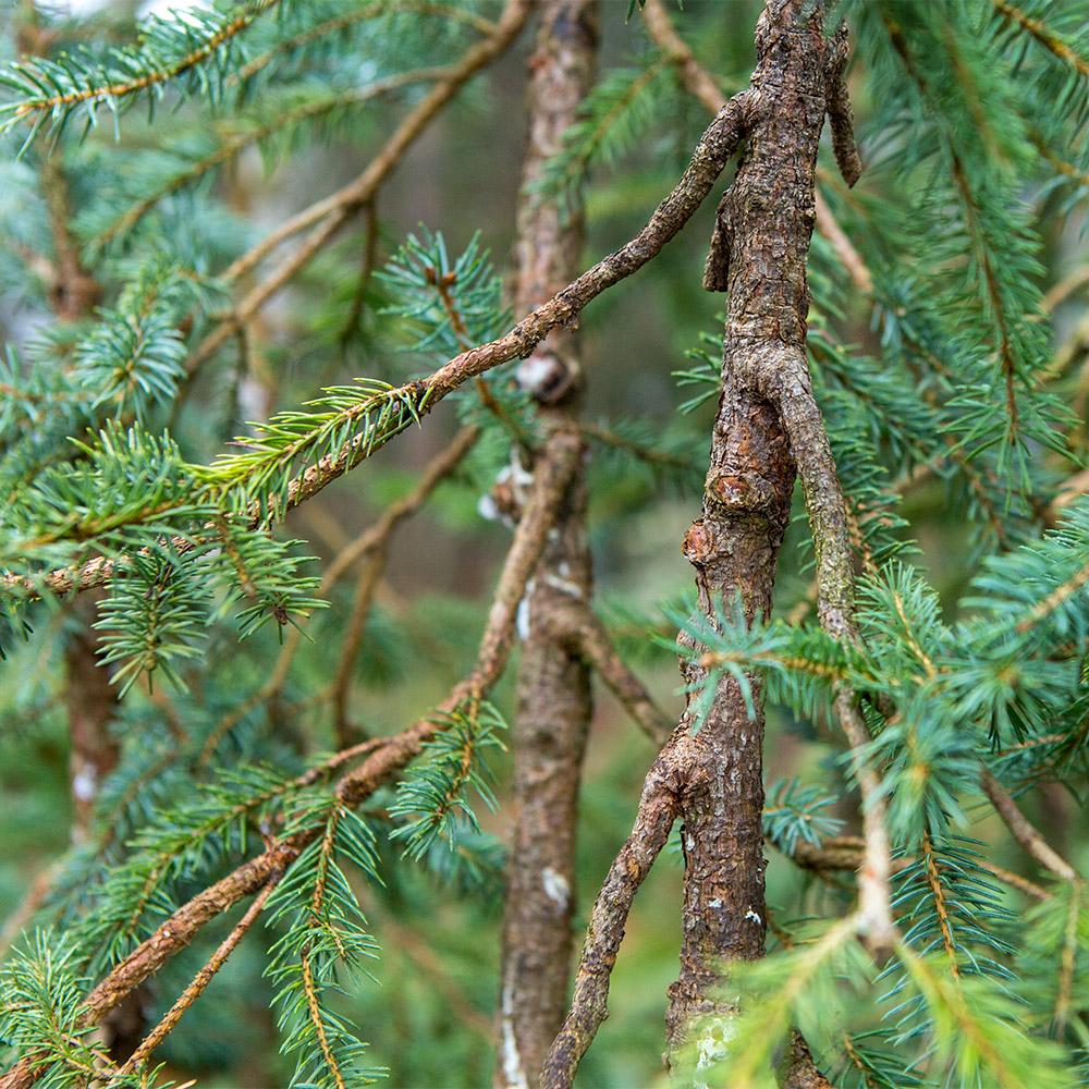 spruce_bonsai