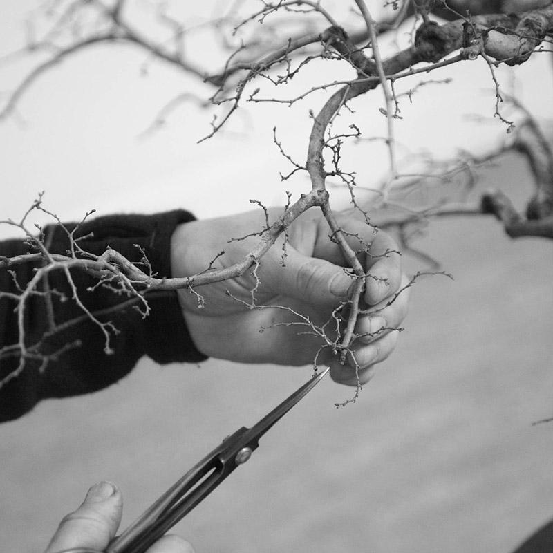 bonsai_pruning_BW