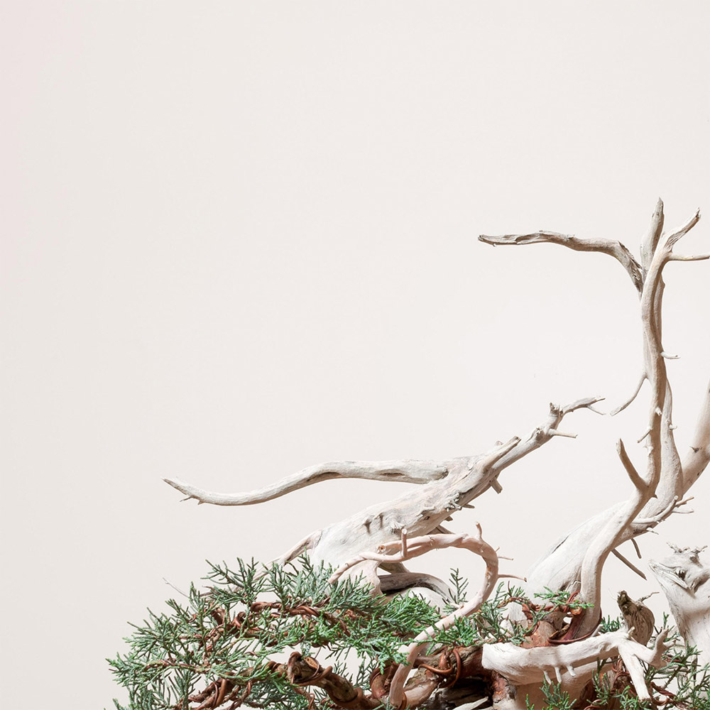 sierra_juniper_detail_bonsai_mirai