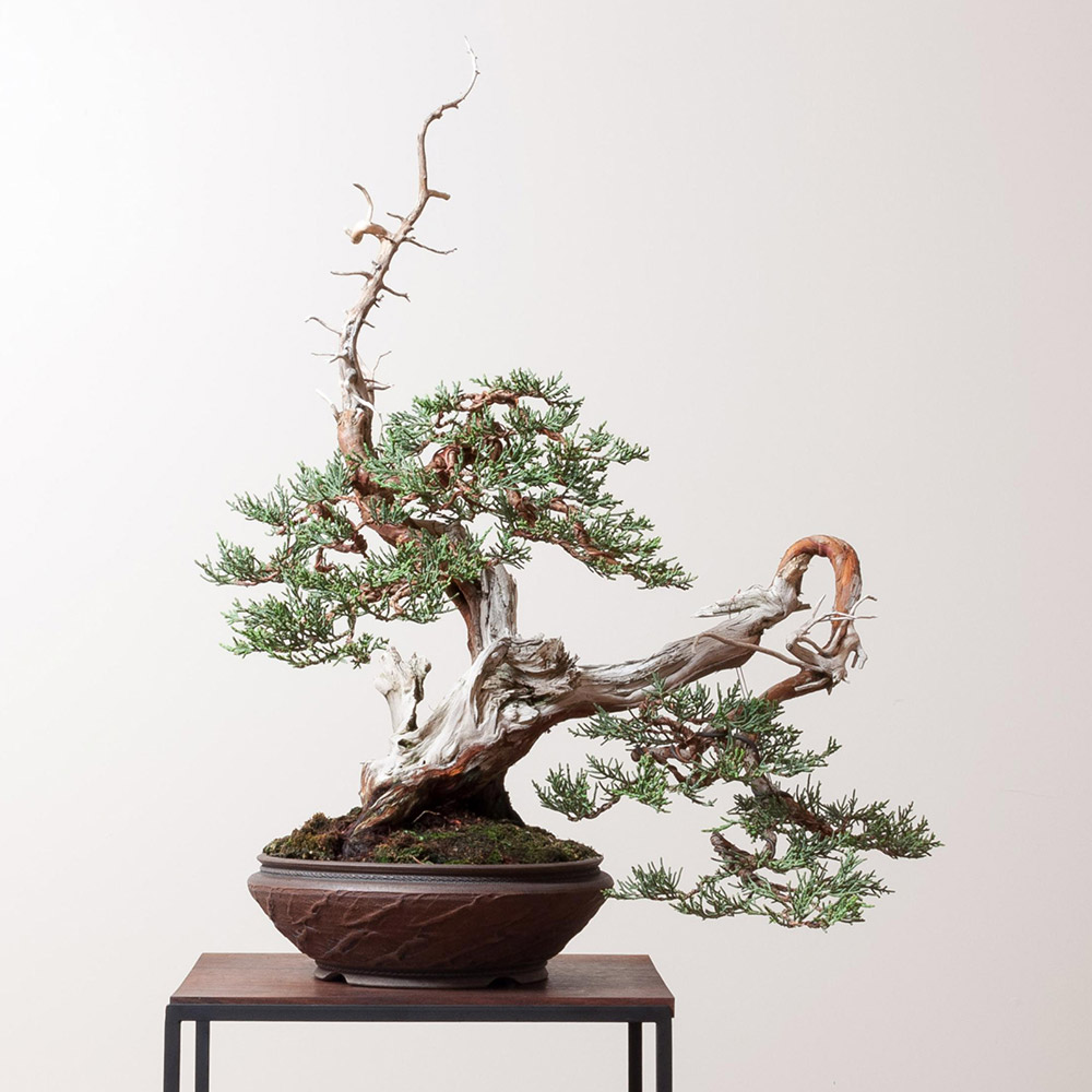 sierra_juniper_bonsai_mirai