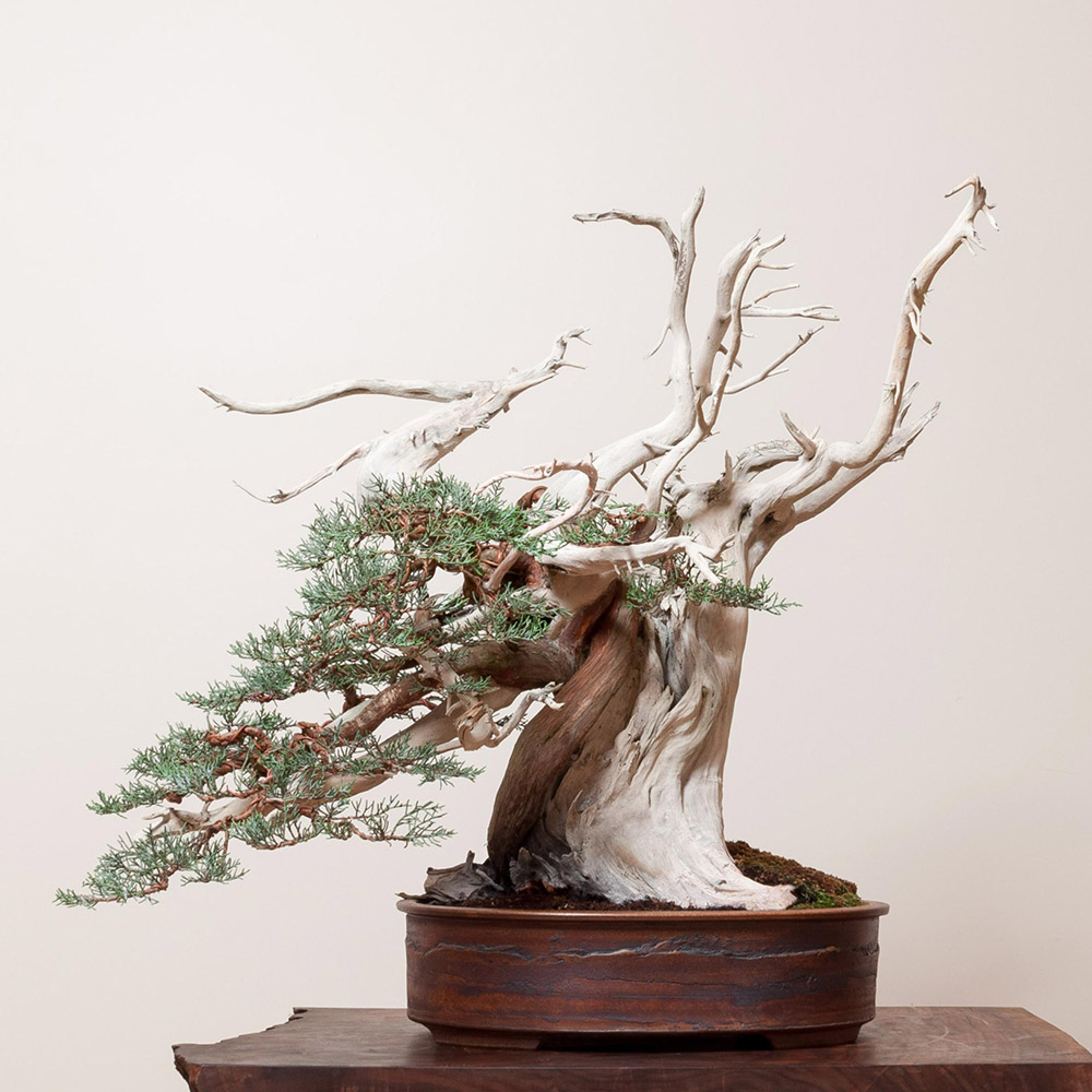 sierra_juniper_bonsai_mirai_juniperus_occidentalis_subsp_australis