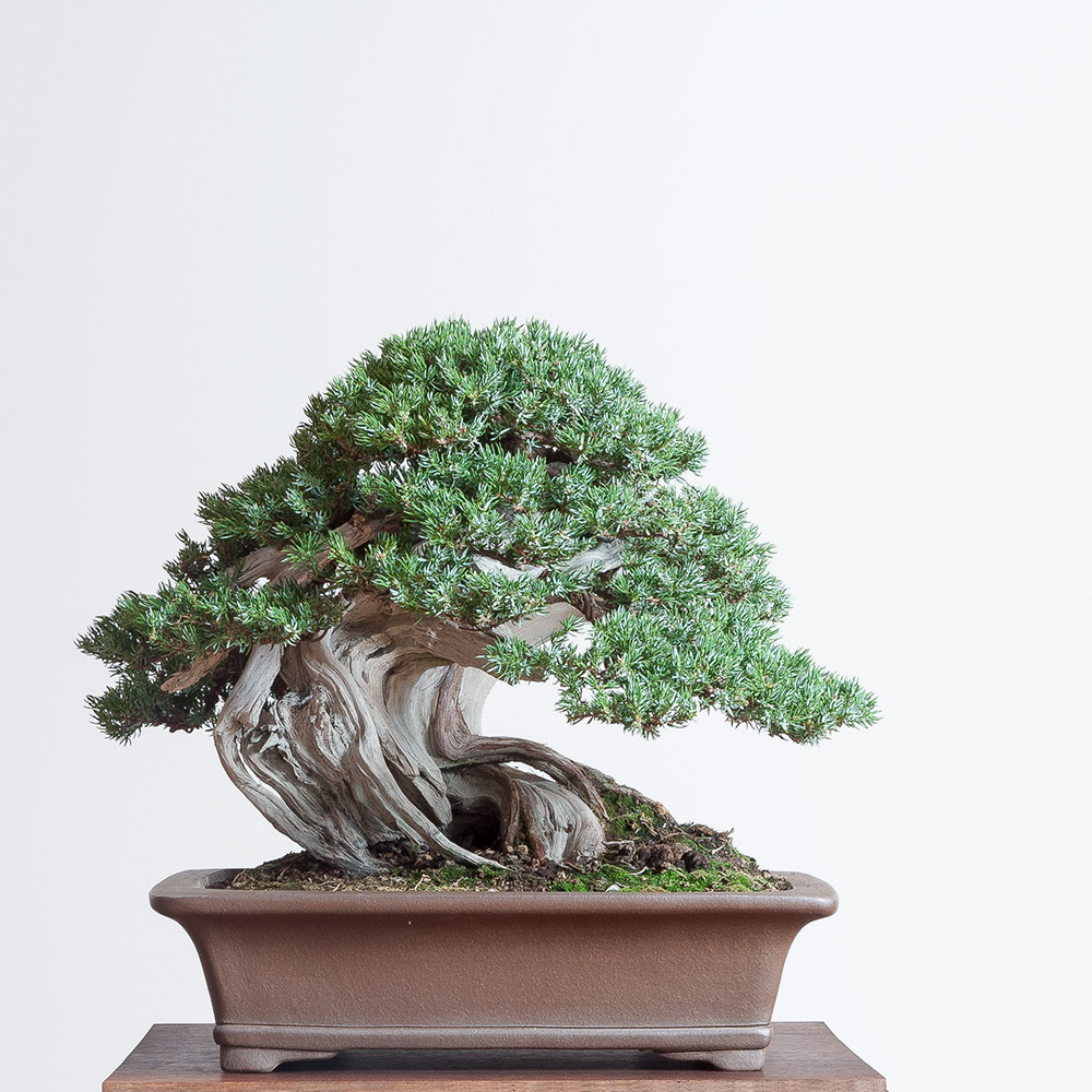 bonsai_juniper_traditional