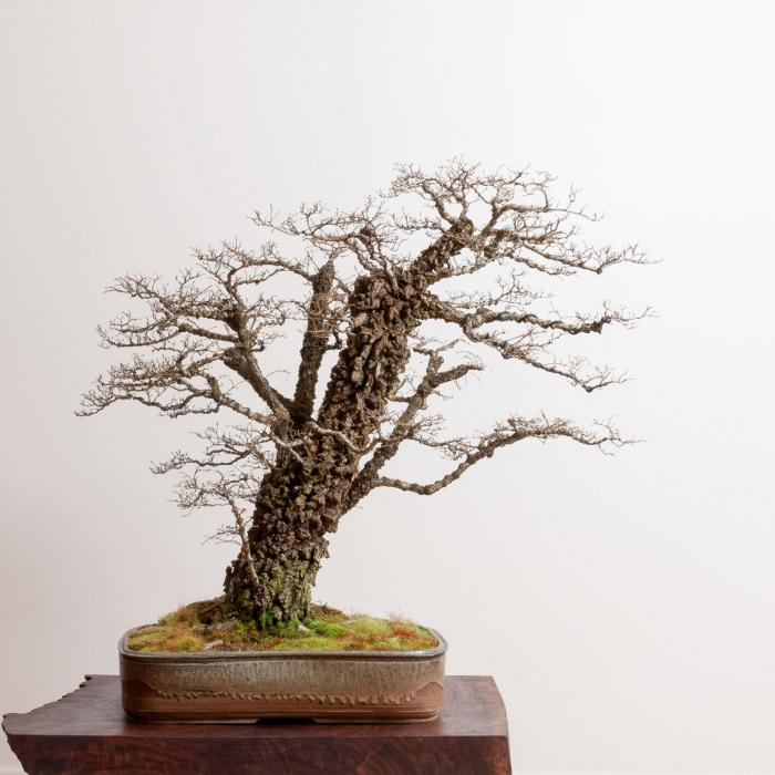 Bonsai Gallery Bonsai Mirai