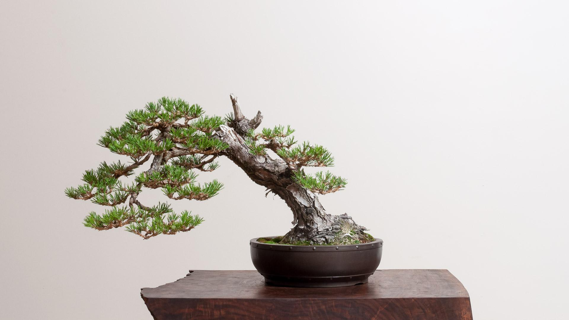 Timelapse Black Pine Bonsai Mirai
