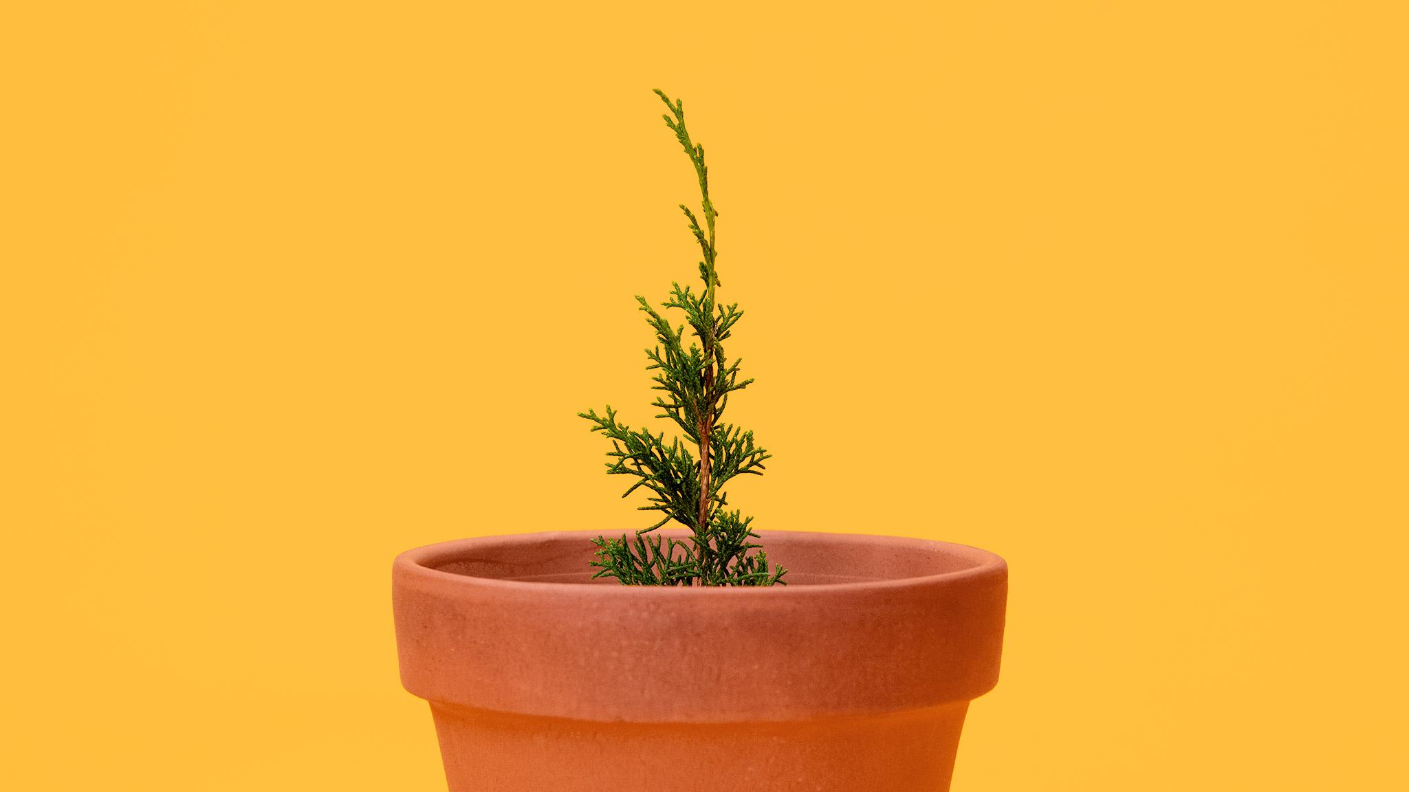 Bonsai Origins Mirai Wiring Juniper Tree