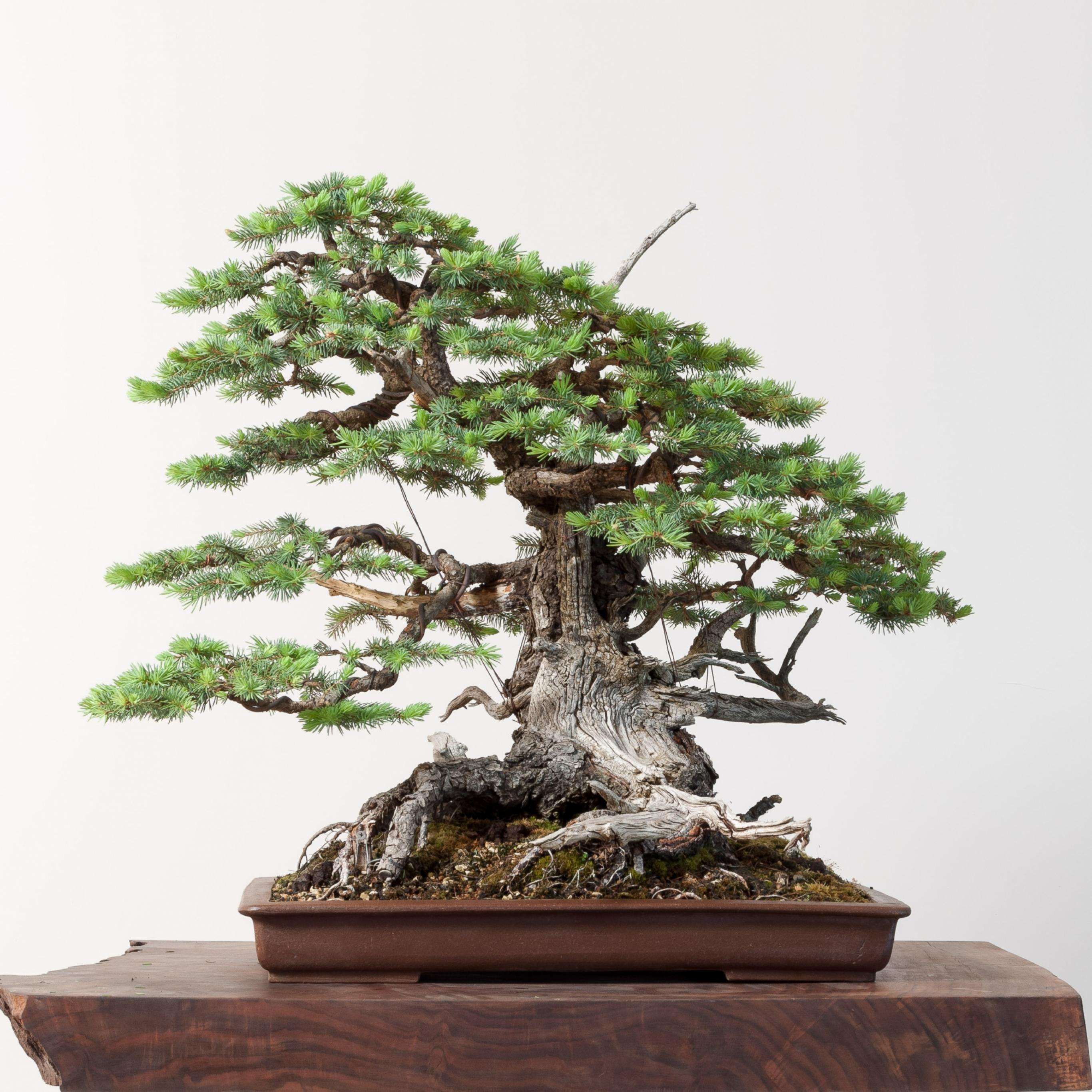 Colorado Spruce No 1 Bonsai Mirai