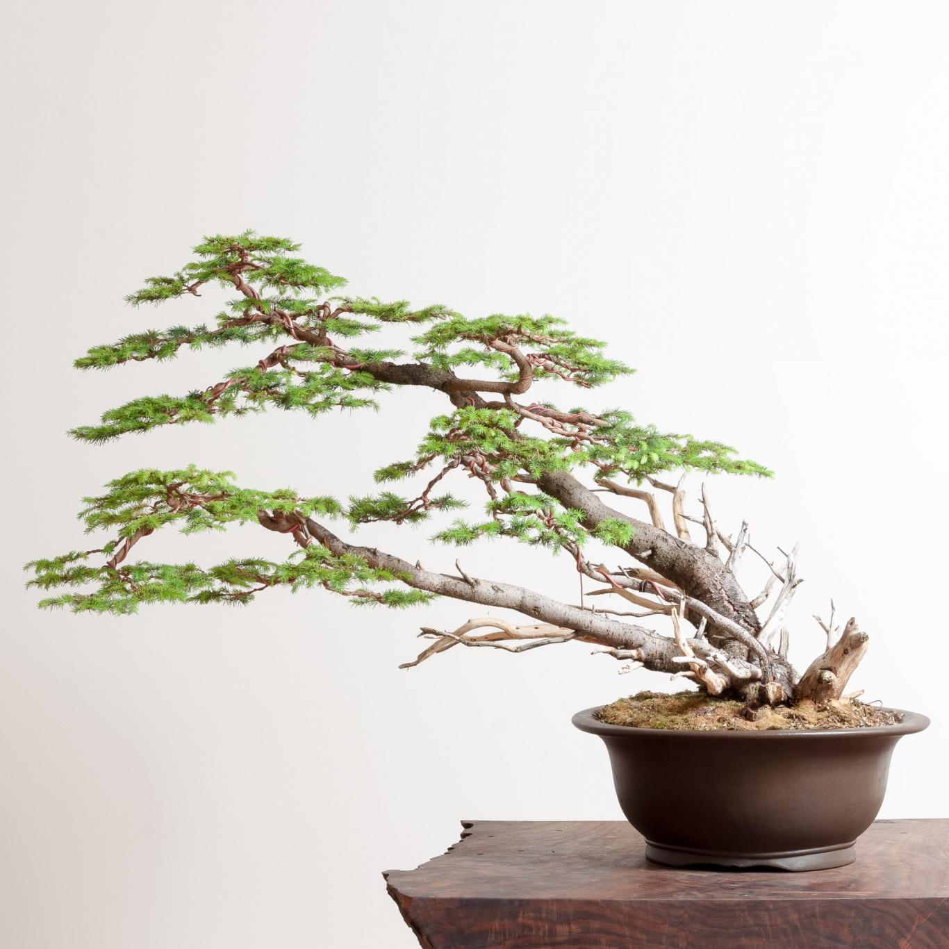 Bird S Nest Spruce Bonsai Mirai