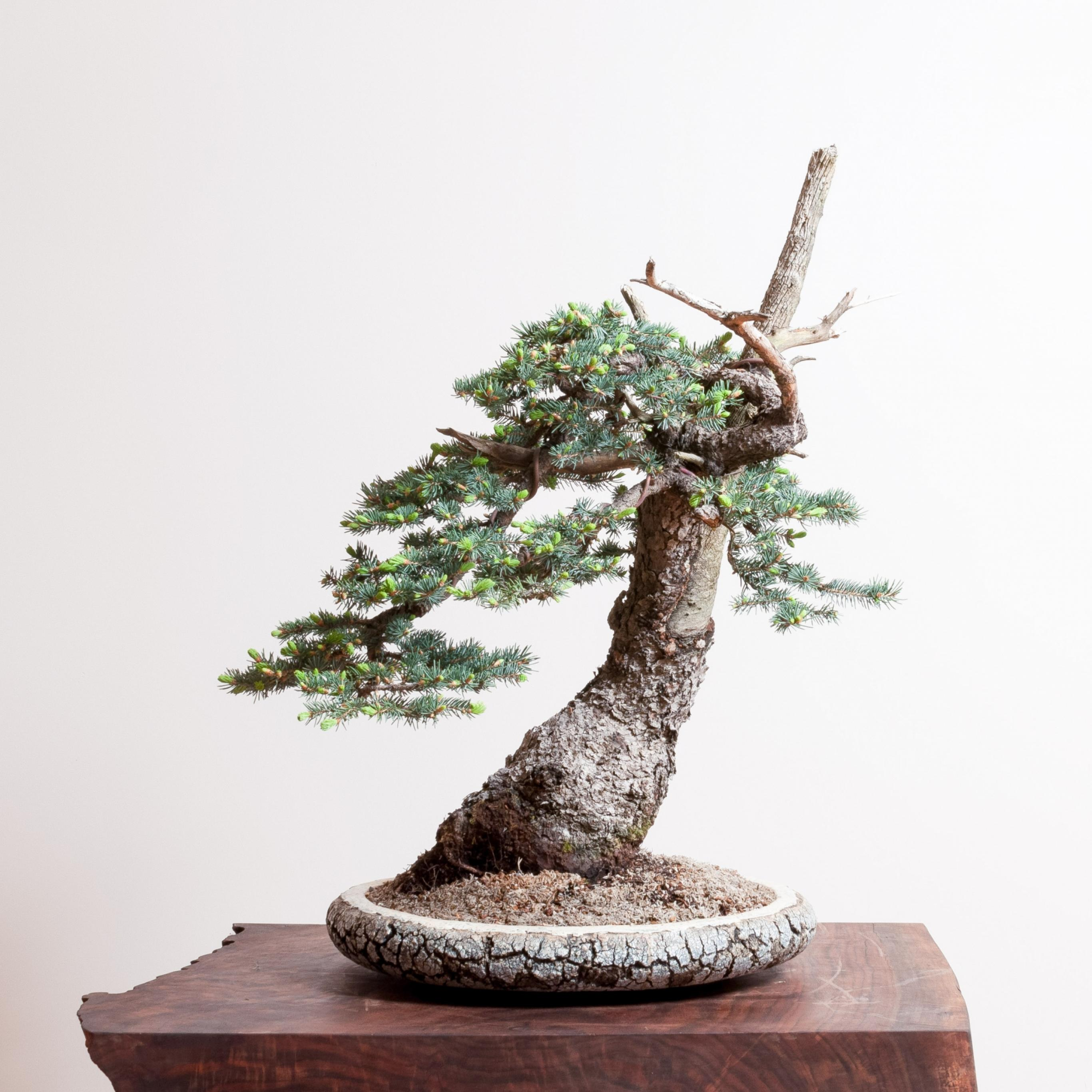 Colorado Spruce No 4 Bonsai Mirai