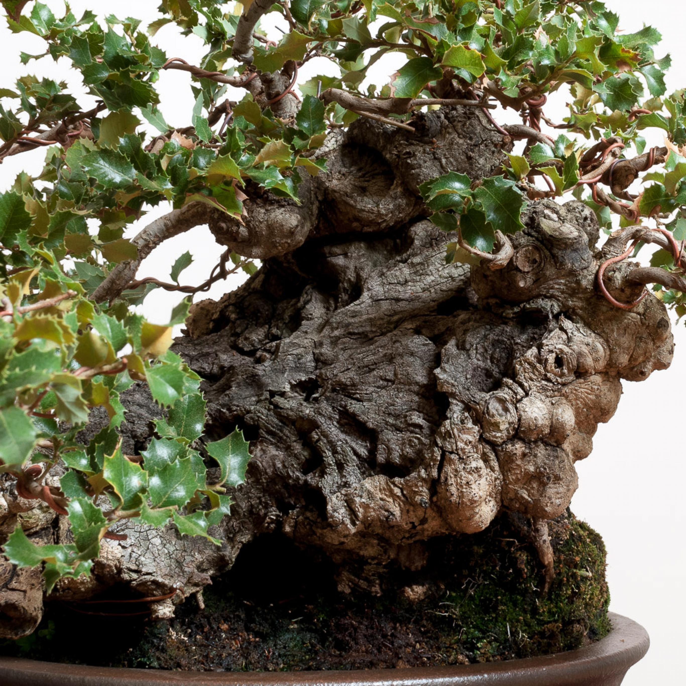 Coast Live Oak No 2 Bonsai Mirai