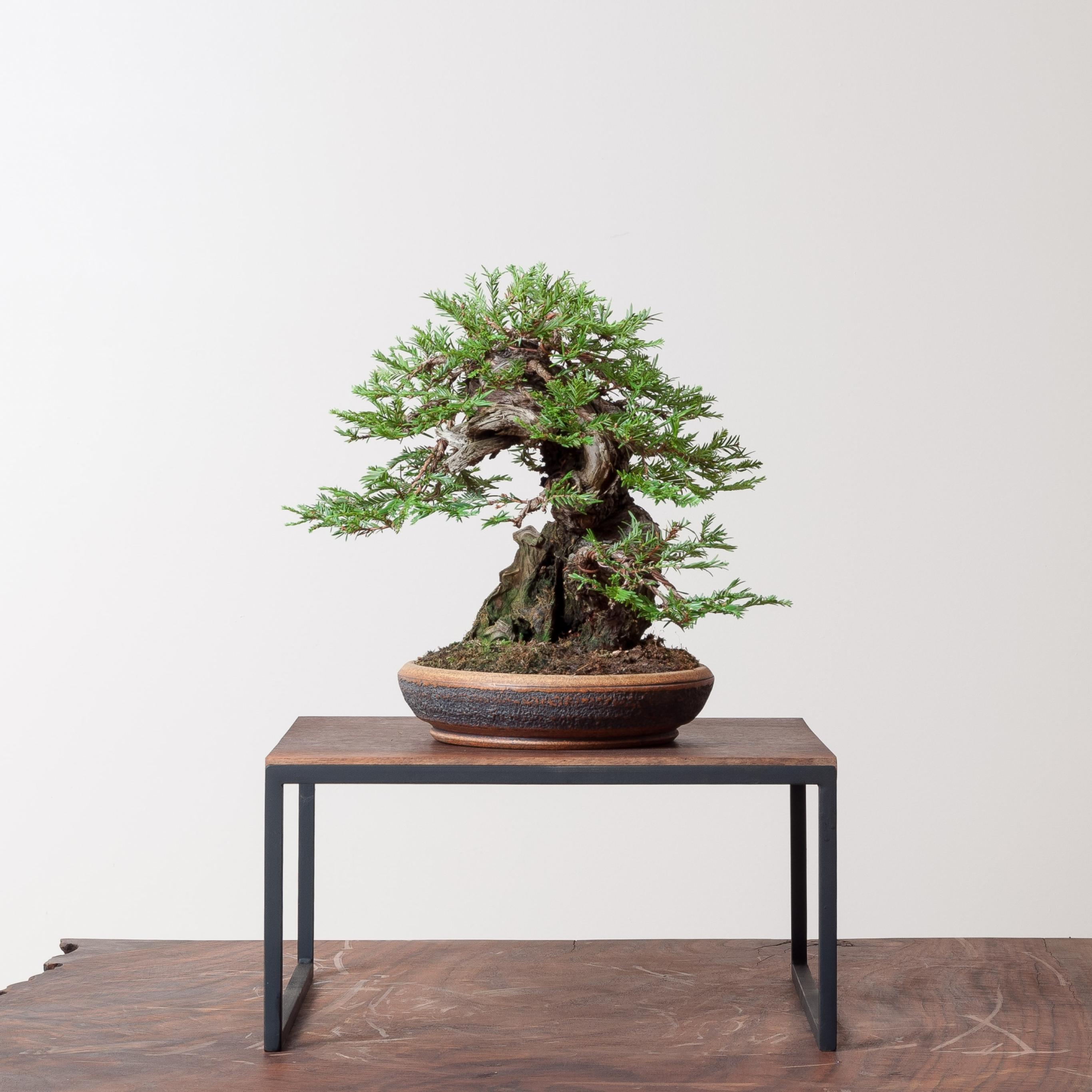 Coastal Redwood No 3 Bonsai Mirai