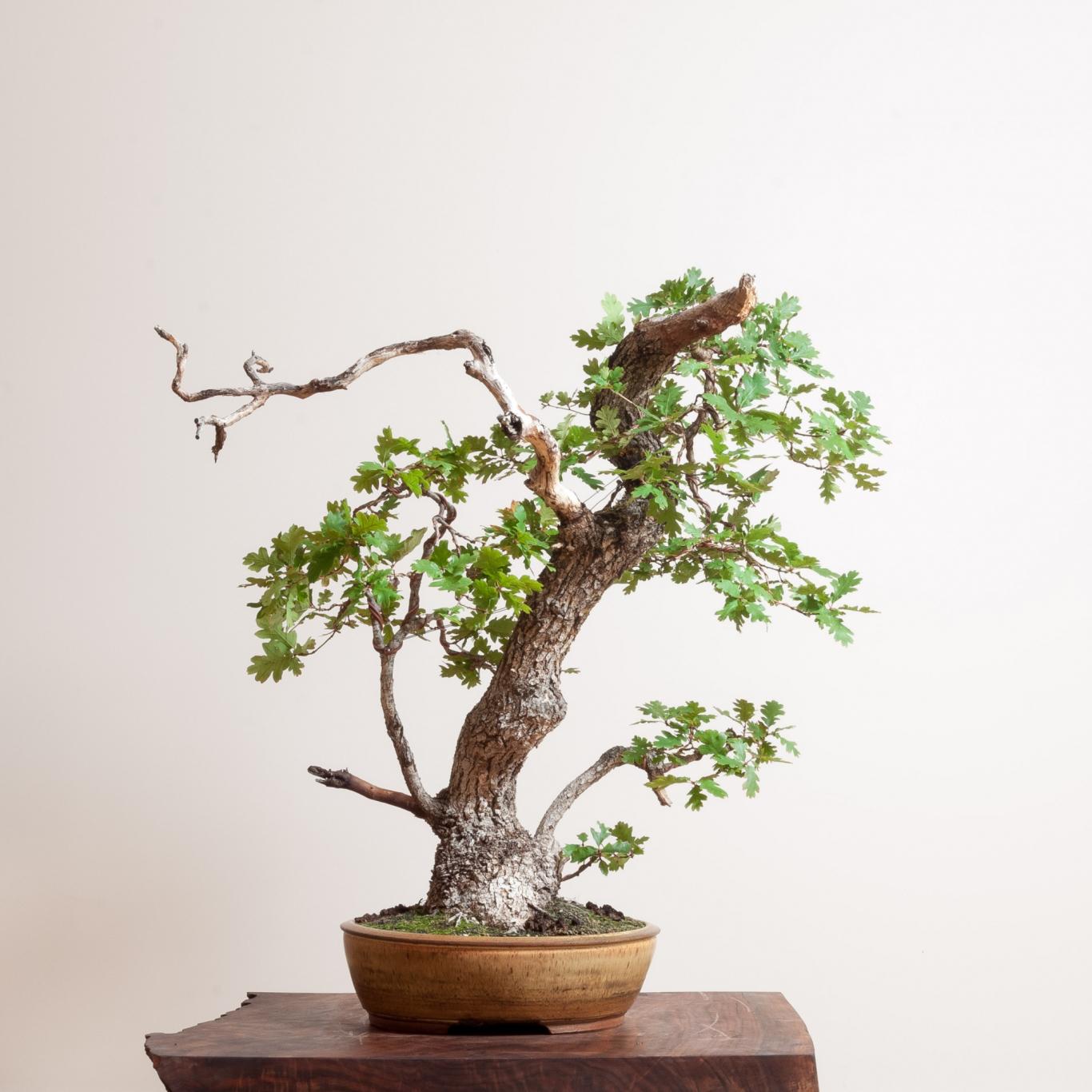 Oregon White Oak Bonsai Mirai