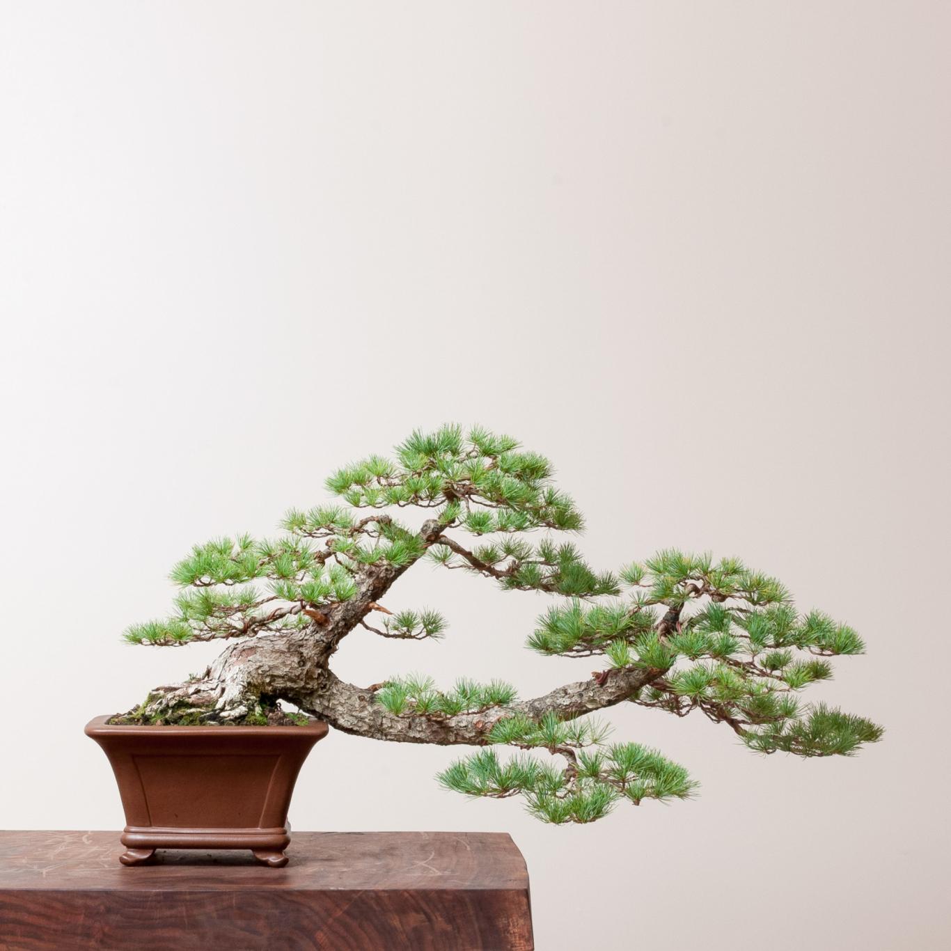 Japanese White Pine No 2 Bonsai Mirai