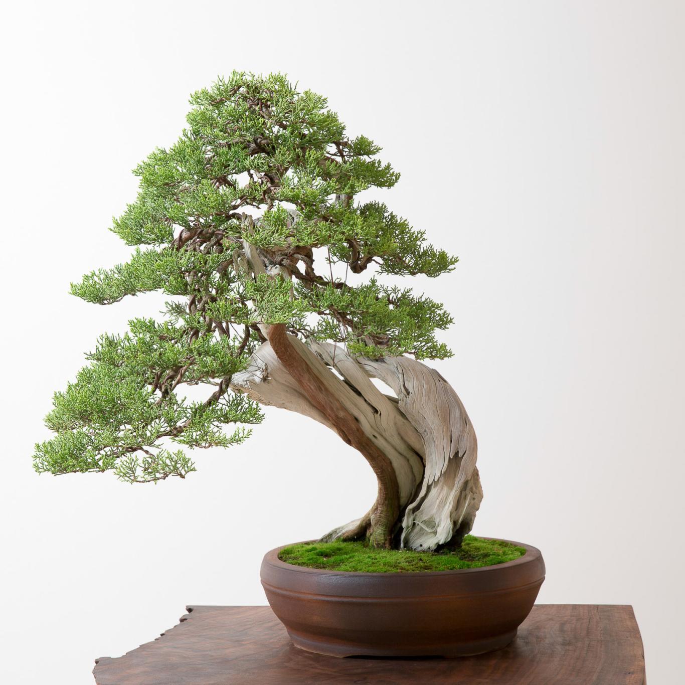 California Juniper No 1 Bonsai Mirai