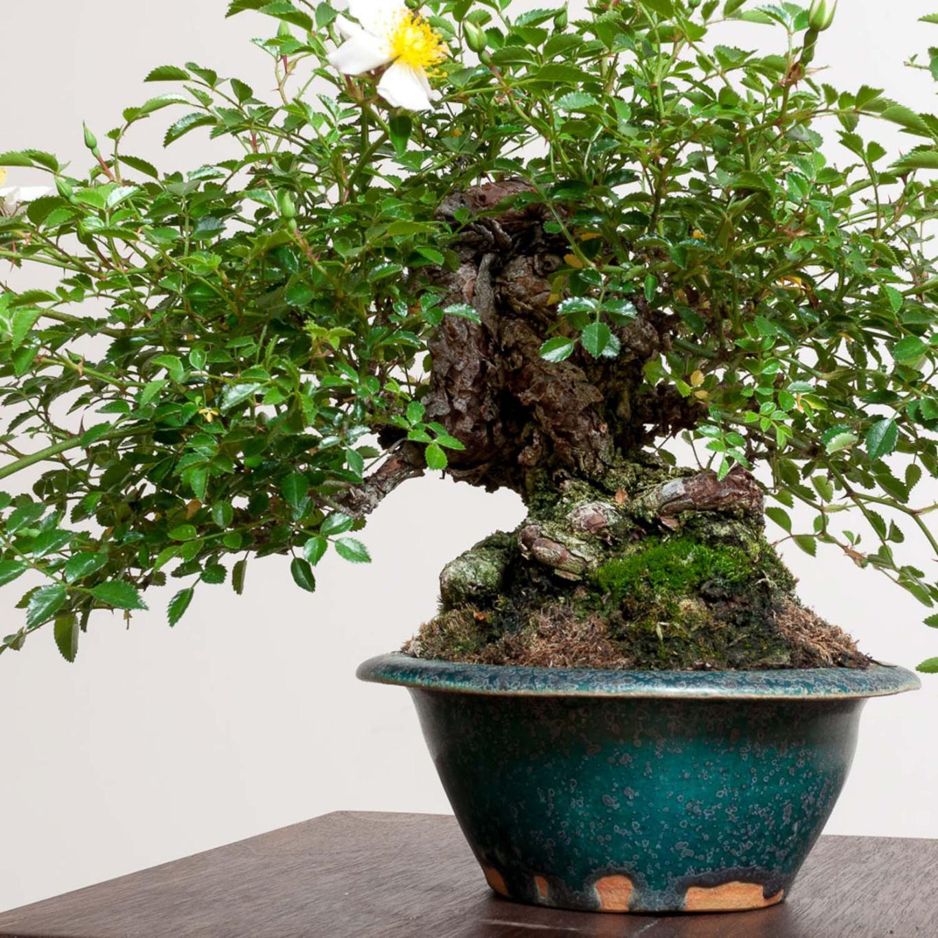 Rambling Rose Bonsai Mirai