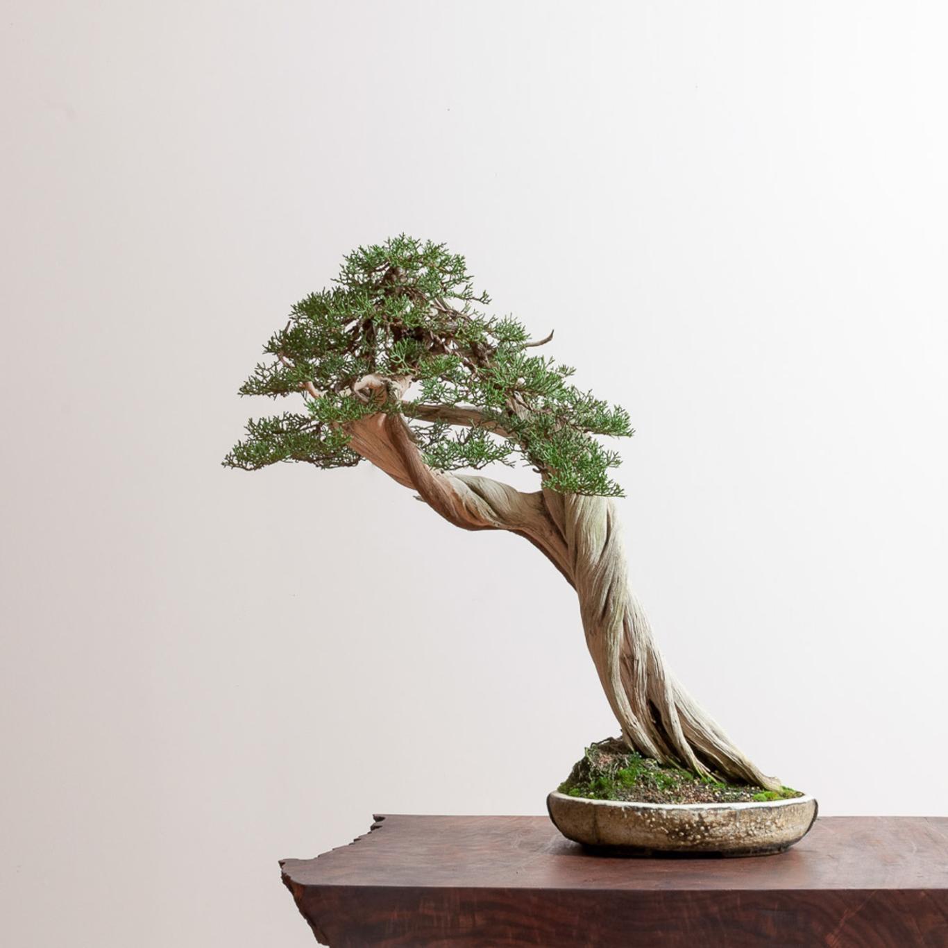 California Juniper No 4 Bonsai Mirai