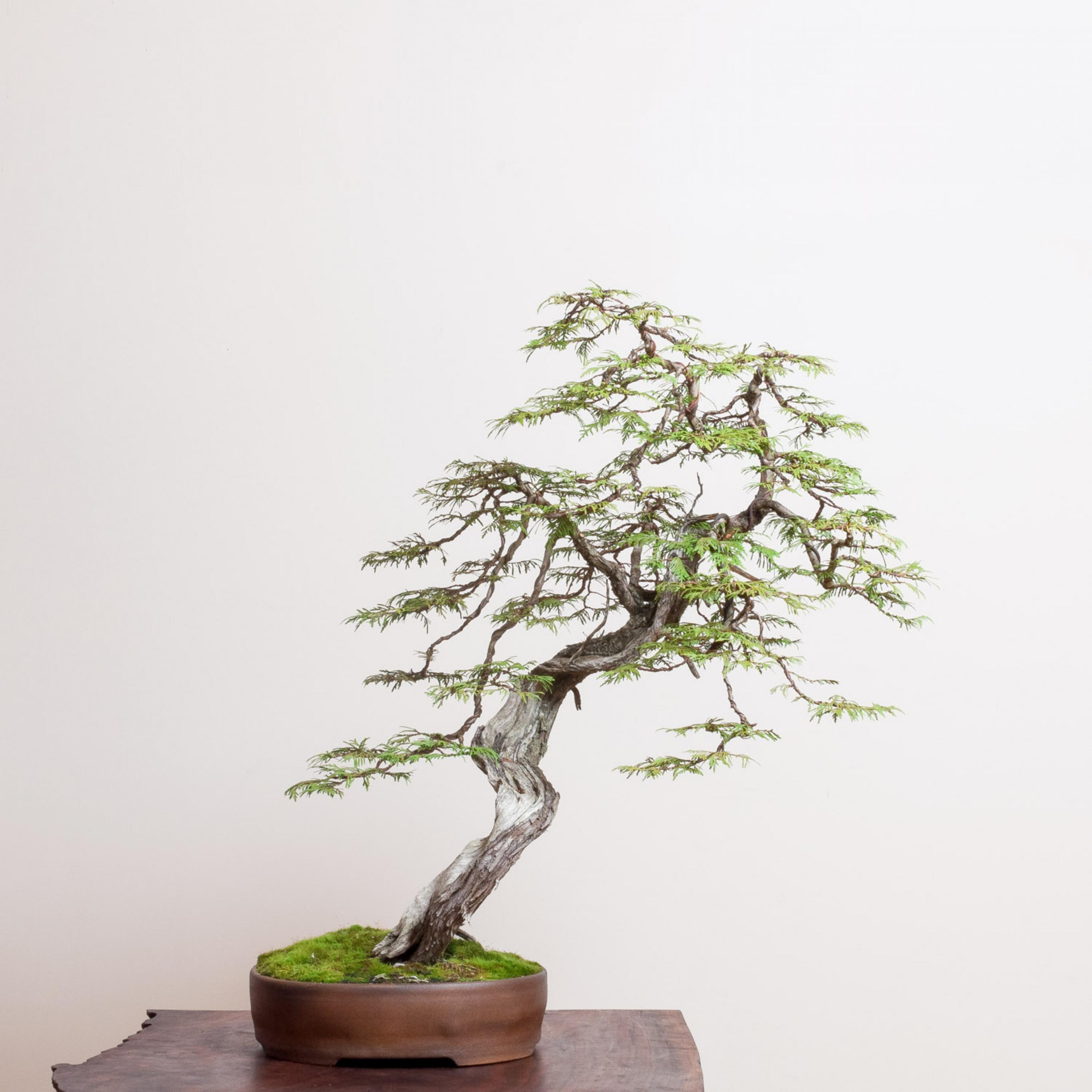 Western Red Cedar Bonsai Mirai
