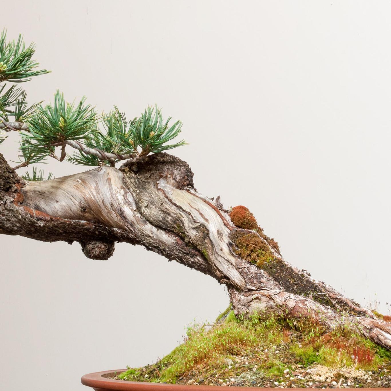 Limber Pine No 8 Bonsai Mirai