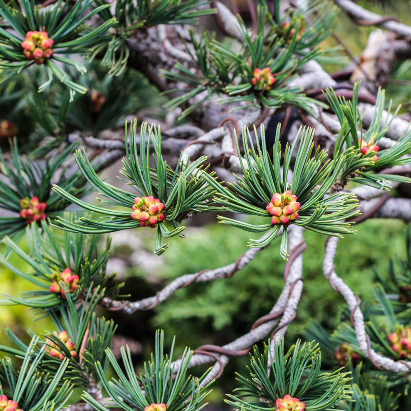 pine_bonsai_wiring_techniques