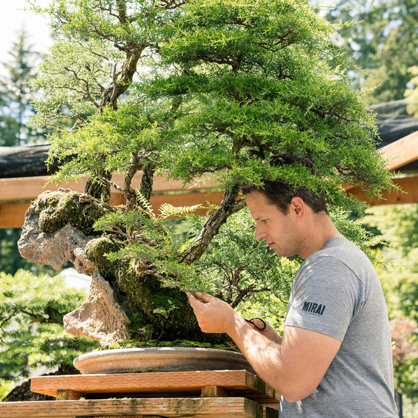 ryan_neil_pruning_cypress_bonsai