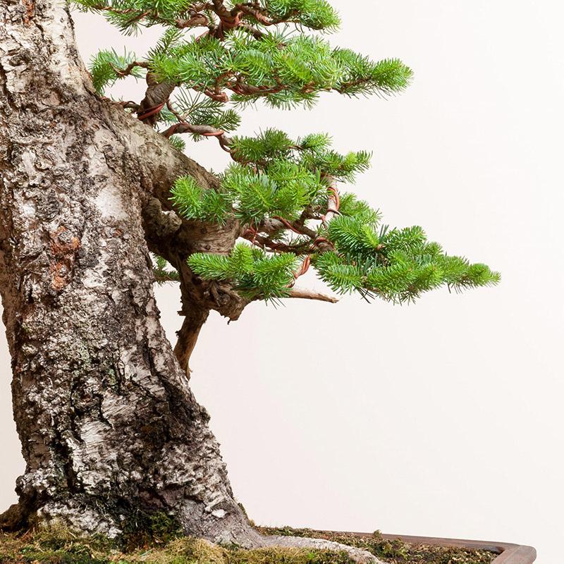 subalpine_fir_bonsai_foliage_Bark