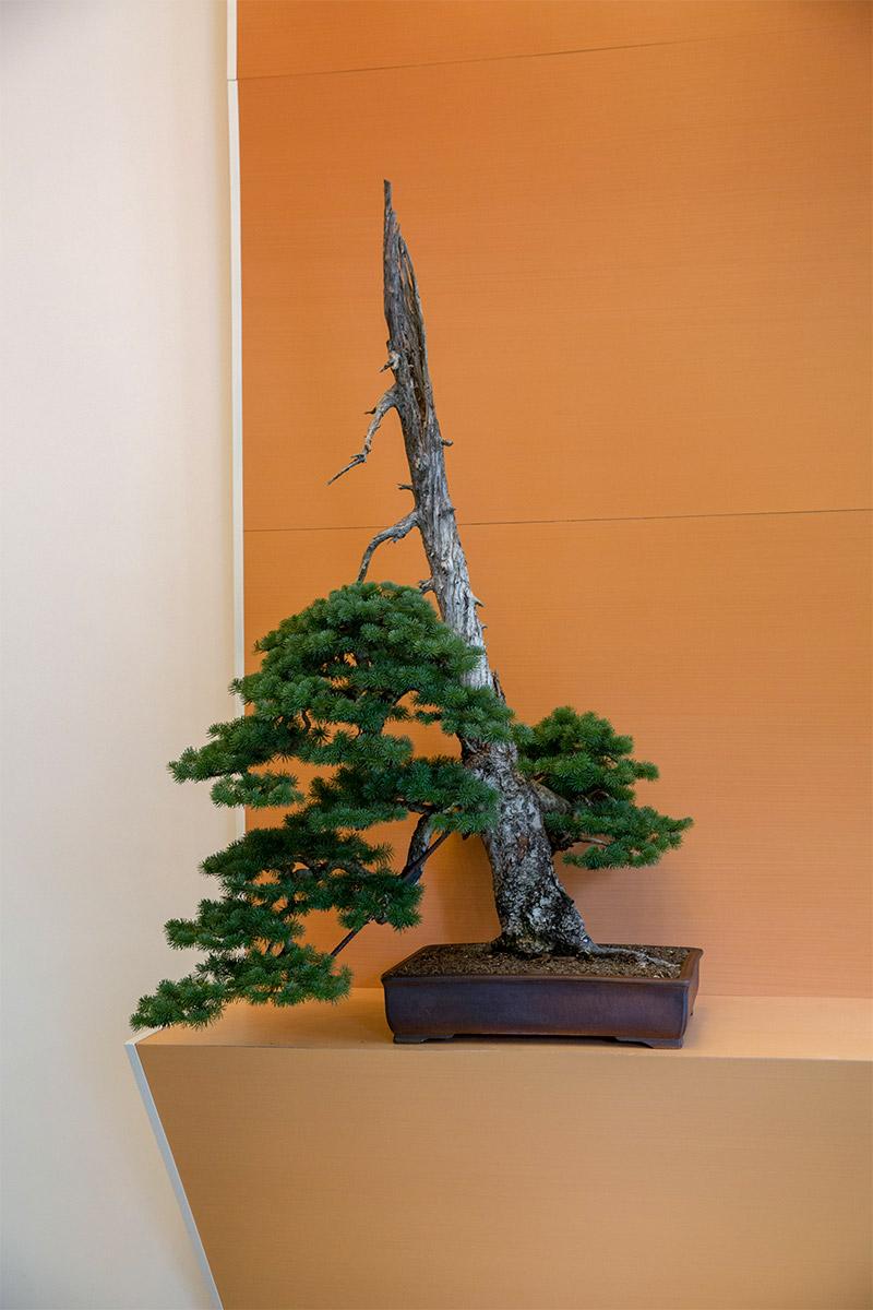 subalpine_fir_bonsai_spectrum_portland_r.neil