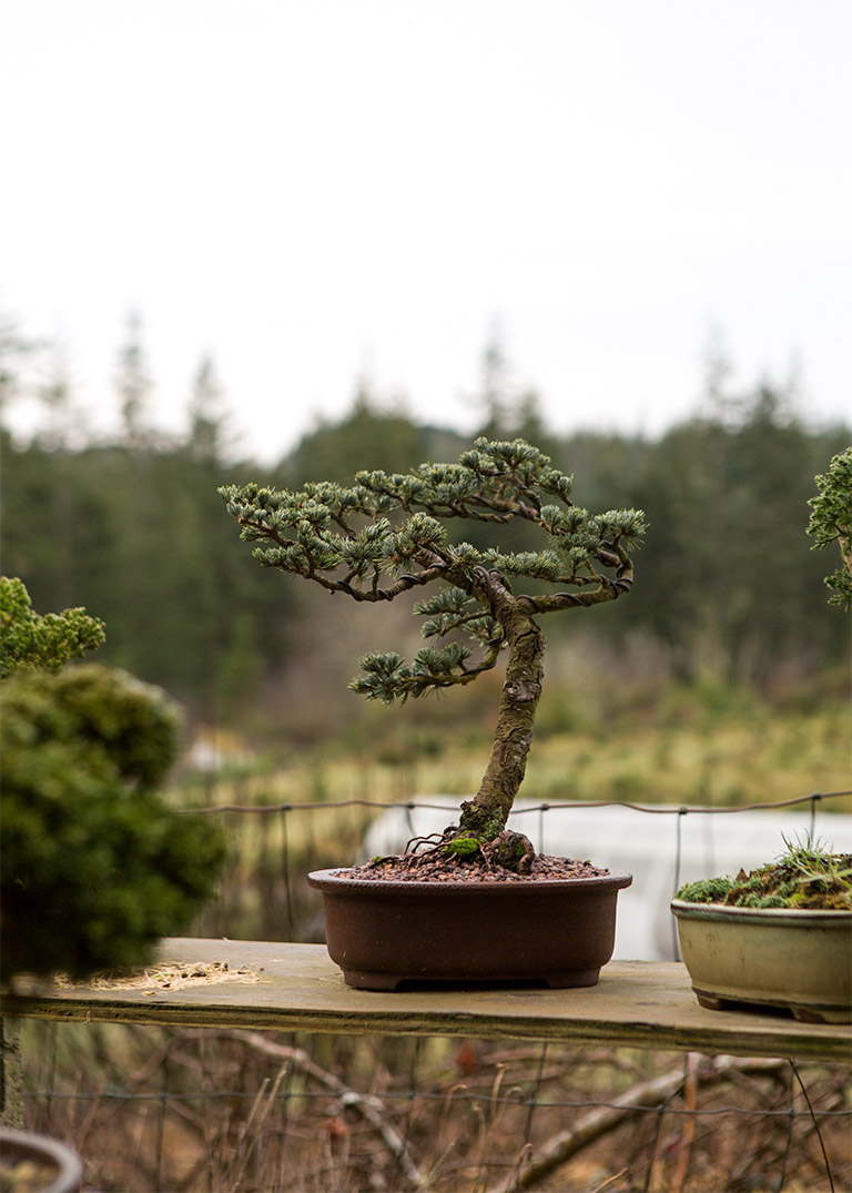 bonsai_conifer_tom_roberts