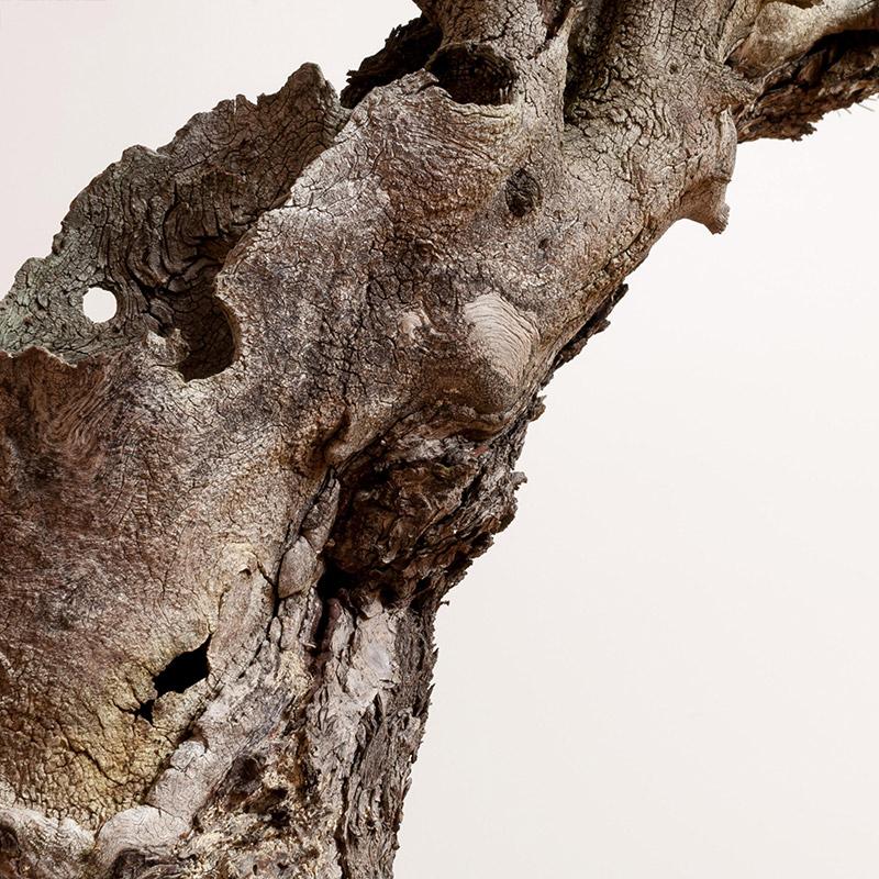 Doug-fir_trunk-detail_bonsai_mirai