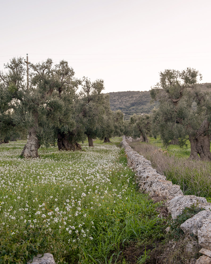 puglia_olives_italy