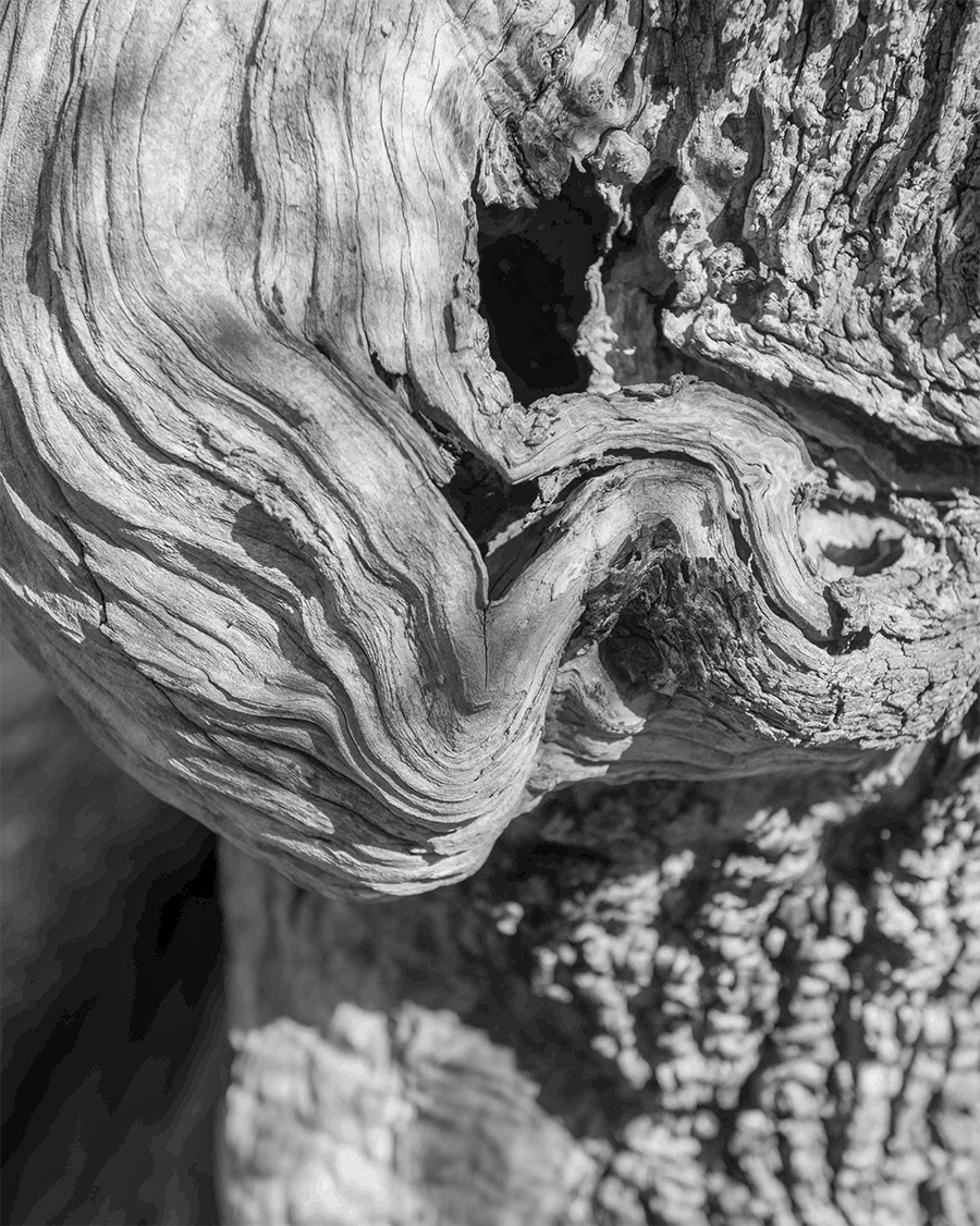olive_bark_detail_italy